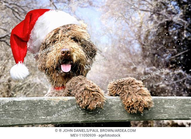 553b07aaf700e Dog - Brown Labradoodle wearing Christmas hat in winter snow scene with  front paws on gate