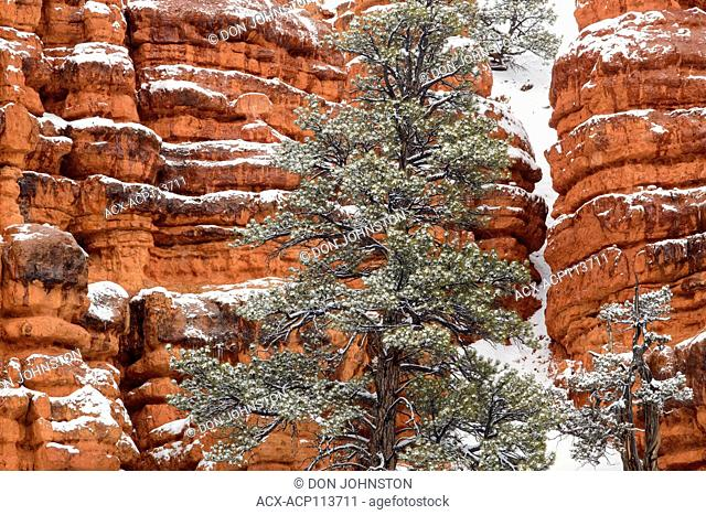 Red Canyon in winter with fresh snow, Dixie National Forest, Red Canyon, Utah, USA