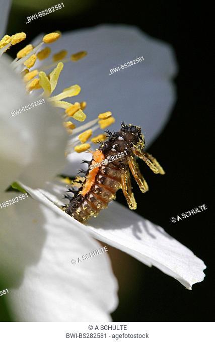 multicoloured Asian beetle Harmonia axyridis, Larva preparing for pupation and sitting up in defense, Germany, Bavaria