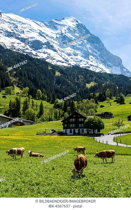 Cows in pasture, Eiger north face behind, Grindelwald, Bernese Oberland, Canton of Bern, Switzerland
