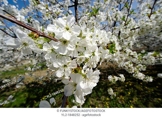 Stock Photos of close up of white cherry blossom on a cherry tree  Funky stock photos library