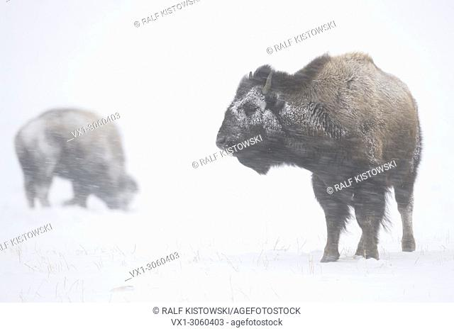 American Bison / Bisons (Bison bison) in harsh winter weather, during a blizzard, snow storm, heavy snowfall, snwo and ice crusted fur, strong winds blasting