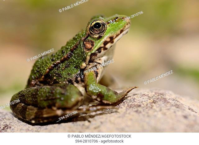 "Albanian water frog """"Pelophylax sqhiperica"""" in Godinje, Skadar lake, Montenegro"