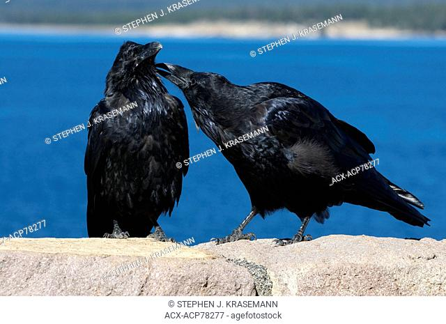 Two Common Ravens perched on rock with one grooming or bonding with the other. (Corvus corax), Yellowstone Nat'l Park, WY, USA