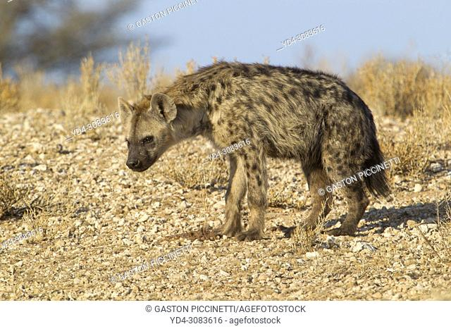 Spotted hyaena (Crocuta crocuta), Kgalagadi Transfrontier Park, Kalahari desert, South Africa