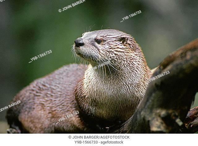 NORTH AMERICAN RIVER OTTER Lutra canadensis, western Washington, USA