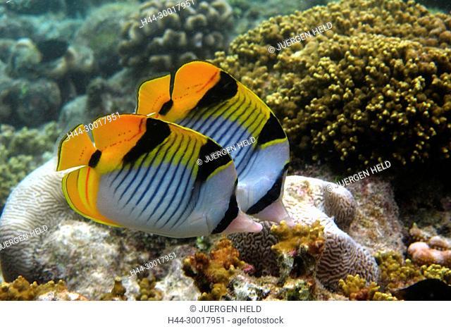 Coral fish at Biyadhoo Island Reef , Indian Ocean , South Male Atoll , Maldives