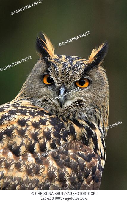 Eagle owl, Bubo bubo, Germany