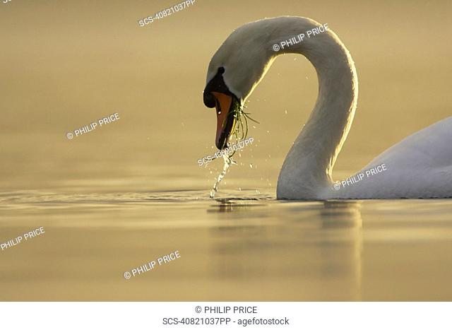 Mute Swan Cygnus olor portrait while swimming in fresh water, feeding with grass and water in mouth Argyll Scotland, UK