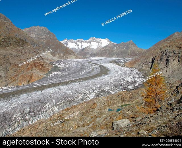 Aletschgletscher And Yellow Larch