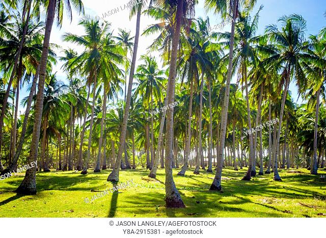 Palm tree plantation at Nacpan Beach, El Nido, Palawan, Philippines