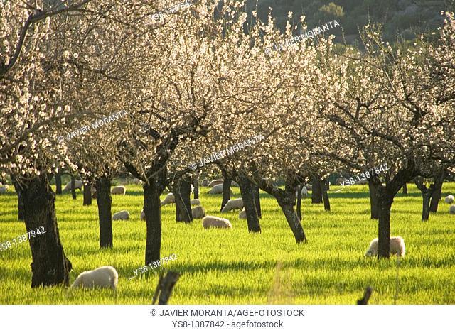 Spain, Balearic Islands, Mallorca, Almond blossom