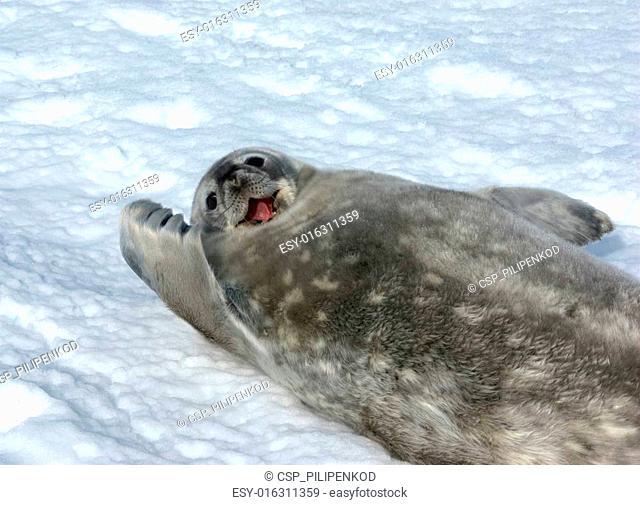 The grey seal Weddell