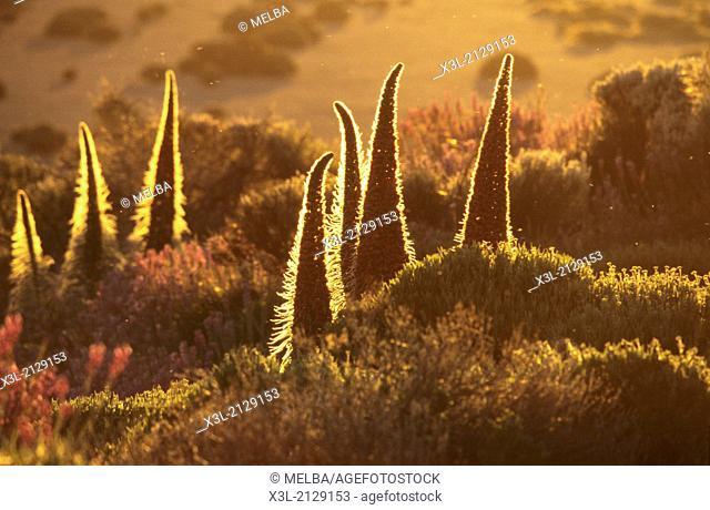 Red Tajinaste, Echium wildpretii. Cañadas del Teide National Park. Tenerife. Canary Islands. Spain