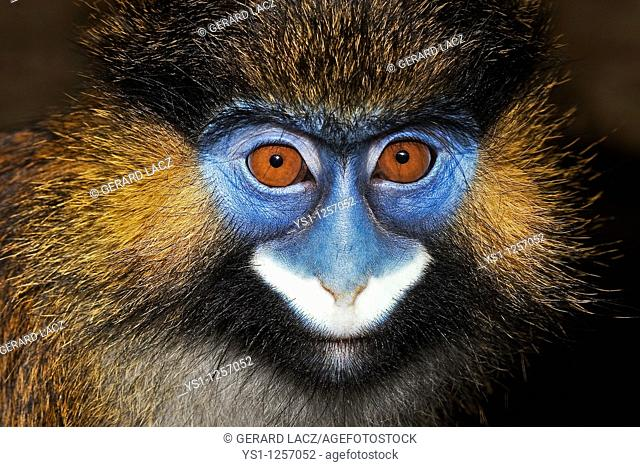 HEAD CLOSE-UP OF MOUSTACHED MONKEY OR MUSTACHED MONKEY cercopithecus cephus