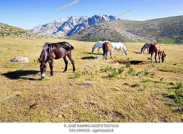 Wild horses at the Rituerta pass and Caballera cliff. Sierra de Gredos. Avila. Castilla Leon. Spain. Europe