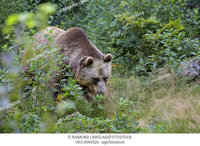 European Brown Bears, Ursus arctos, Bavaria, Germany