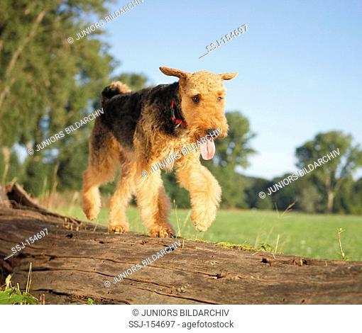 Airedale Terrier dog - walking on trunkrestrictions: animal guidebooks