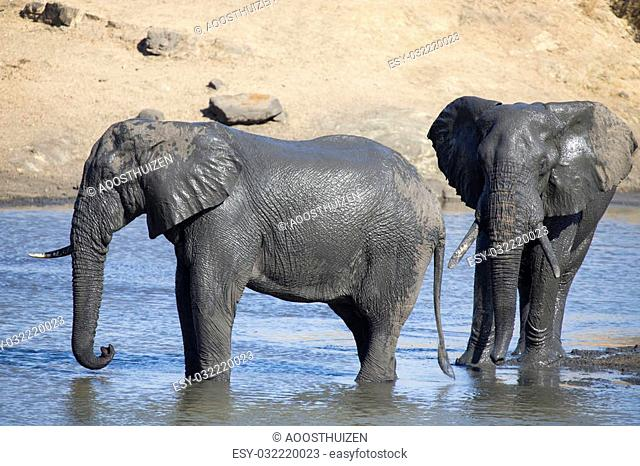 Elephant herd playing in muddy water with lots of fun