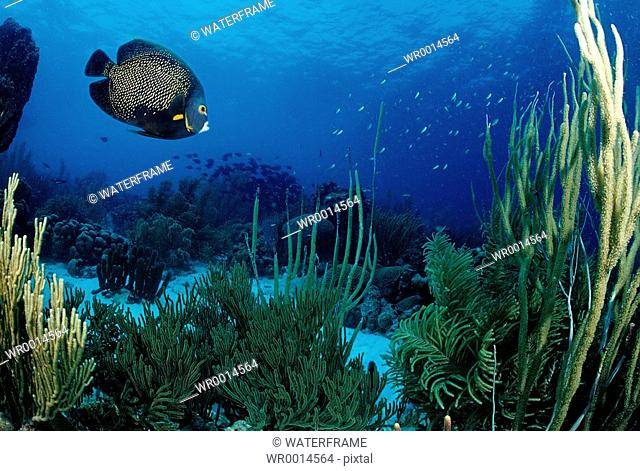 French Angelfish at Coral Reef, Pomacanthus paru, Caribbean Sea, Cuba