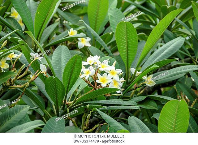 frangipani plant, nosegaytree (Plumeria alba), blooming, Portugal, Madeira