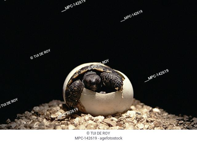 HATCHLING EMERGINIG FROM EGG IN INCUBATOR,  GIANT TORTOISE BREEDING PROGRAM, OPERATED  JOINTLY BY GALAPAGOS NATIONAL PARK & CHARLES  DARWIN RESEARCH STATION