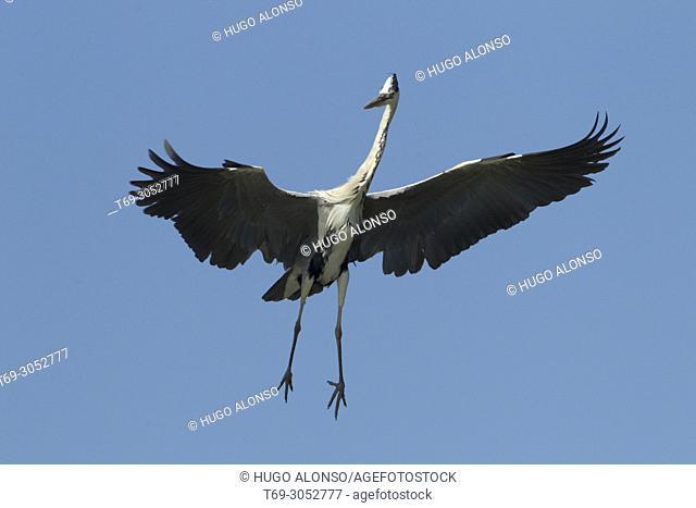 Grey heron in flight (Ardea cinerea) . Ebro Delta, Catalonia, Spain