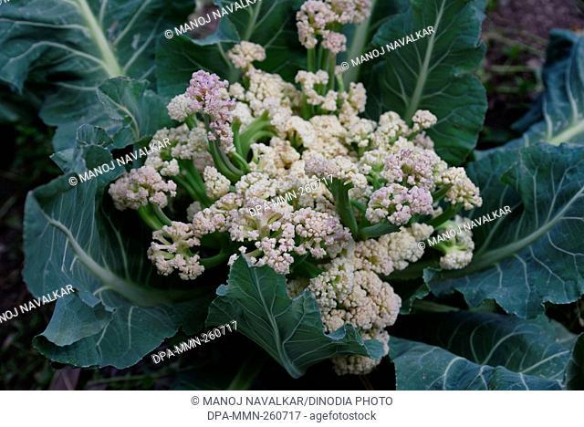 cauliflower, kasauli, himachal pradesh, India, Asia