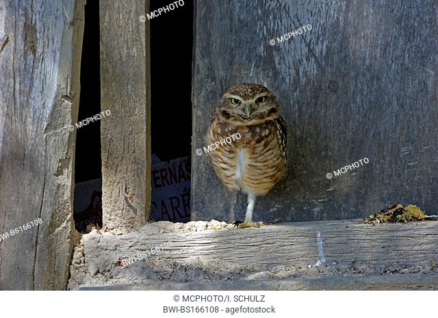 Burrowing Owl (Speotyto cunicularia, Athene cunicularia), on timber beam, Brazil, Pantanal