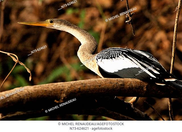 Heron. Pantanal. Mato Grosso. Brazil