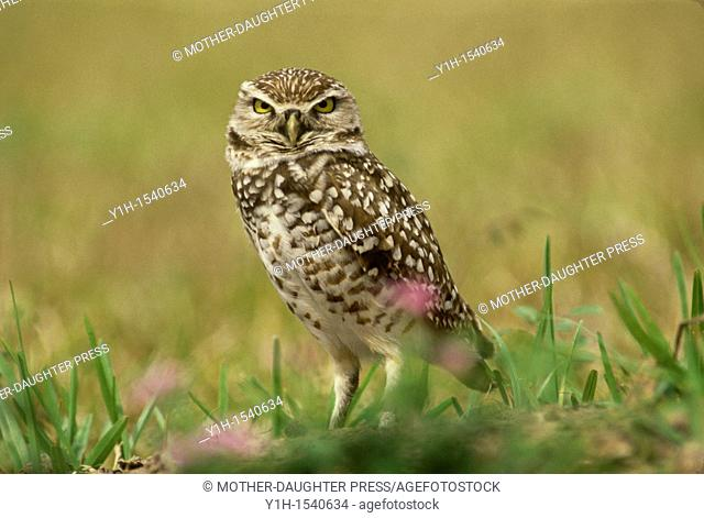 Burrowing owl, Athene cunicularia, near the burrow, Florida, USA