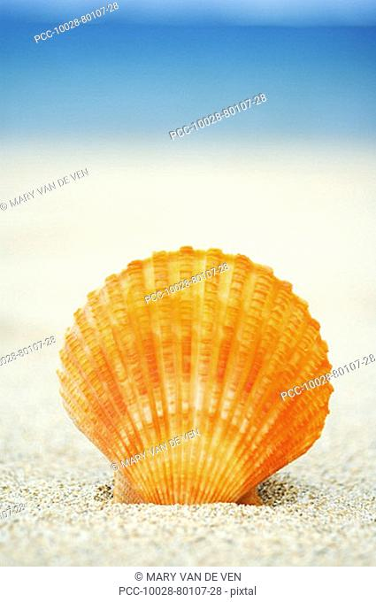 Orange scallop shell standing upright in sand