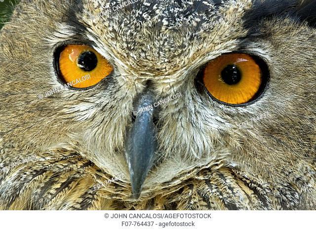 Eagle Owl (Bubo bubo). Captive, Europe