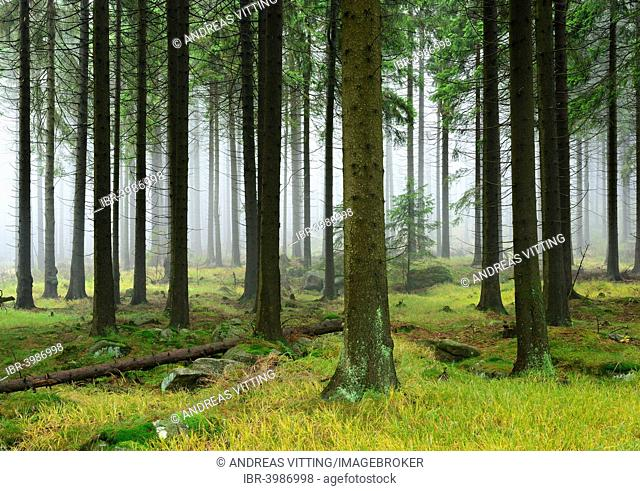 Spruce forest with mossy boulders in the mist, Harz National Park, Saxony-Anhalt, Germany