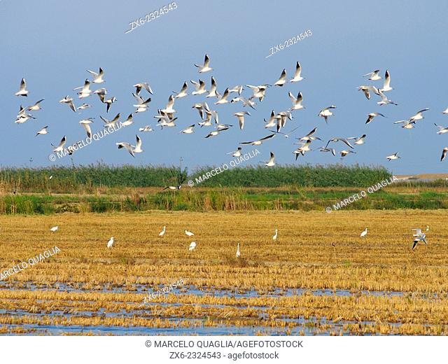 Seagulls (Laurus audouinii) at harvested rice fields. Ebro River Delta Natural Park, Tarragona province, Catalonia, Spain