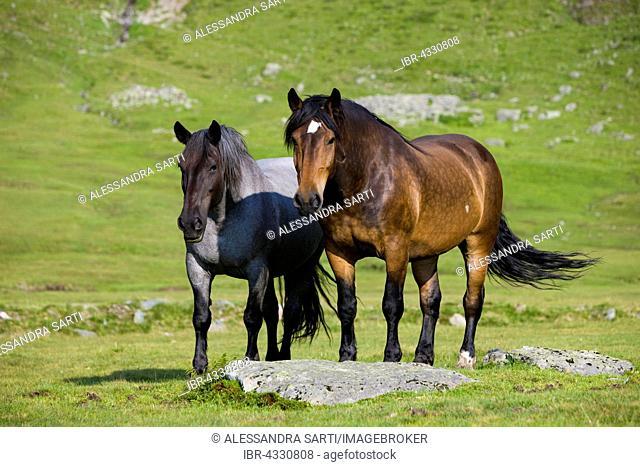 Mohrenkopf with black head and Noriker on pasture, brown, Sintersbach Hochalm pasture, Kitzbühel Alps, Tyrol, Austria
