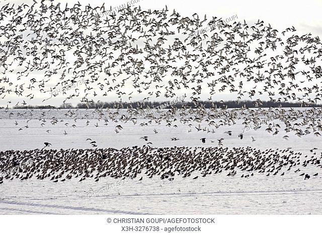 envol de vanneaux huppes (Vanellus vanellus) , departement d'Eure-et-Loir, region Centre-Val de Loire, France, Europe/flight of northern lapwing (Vanellus...