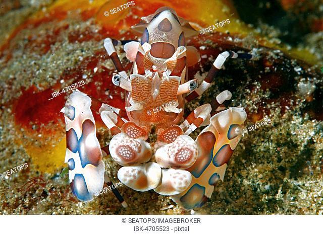 Harlequin shrimp (Hymenocera picta), Sabang Beach, Mindoro, Philippines