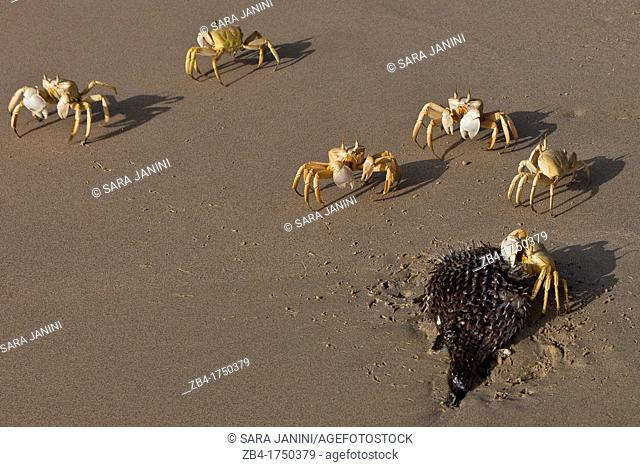 Ghost crabs, Ditwah lagoon near Qalansiyah, Socotra island, listed as World Heritage by UNESCO, Yemen, Arabia, West Asia eating a dead fish