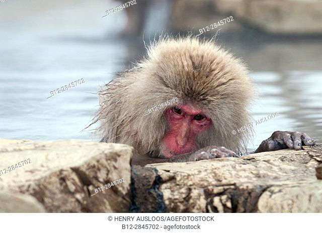 Japanese macaque or snow japanese monkey (Macaca fuscata), portrait, Japan
