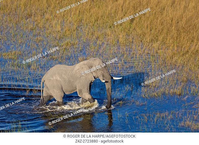 Aerial view of African bush elephant (Loxodonta africana). Okavango Delta. Botswana