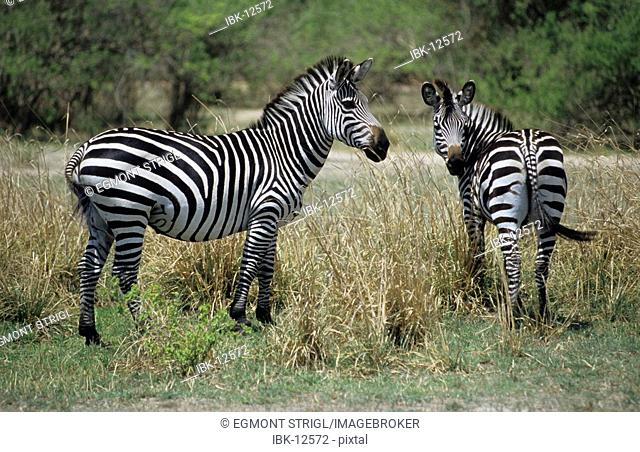 Zebras at South Luangwa National Park