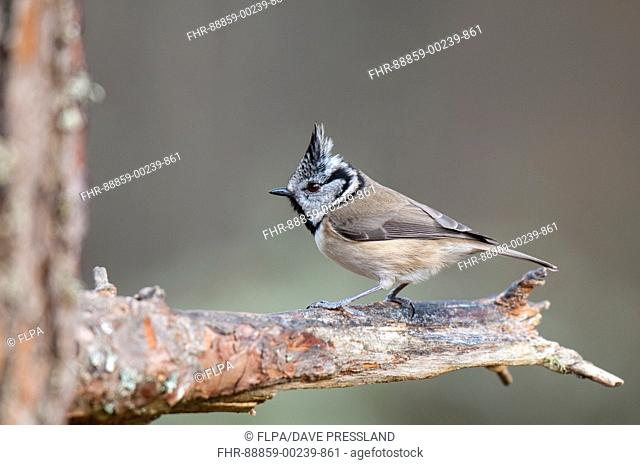 Crested tit (Parus cristatus) adult perched on the branch of a pine tree at Loch Garten, Inverness-shire, Scotland. March