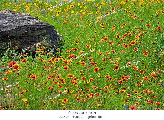 Native spring wildflowers- Indian blanket, Pace Bend LCRA, Marble Falls, Texas, USA