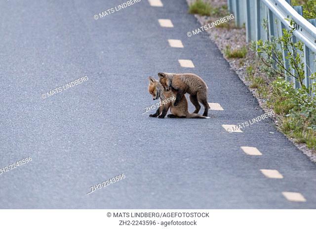 Redfox puppies playing on road in Gällivare swedish lapland