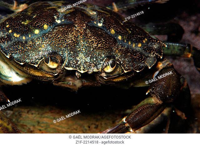 Green crab in Brittany, France. Carcinus maenas