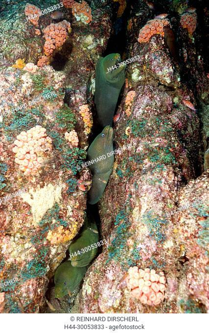 Group of Panamic Green Moray Eel hiding in Reef, Gymnothorax castaneus, La Paz, Baja California Sur, Mexico