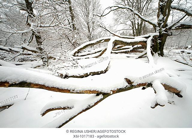 Ancient Beech tree in deciduous woodland, covered in snow, winter, North Hessen, Germany