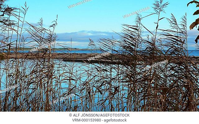 Common reed in coastline