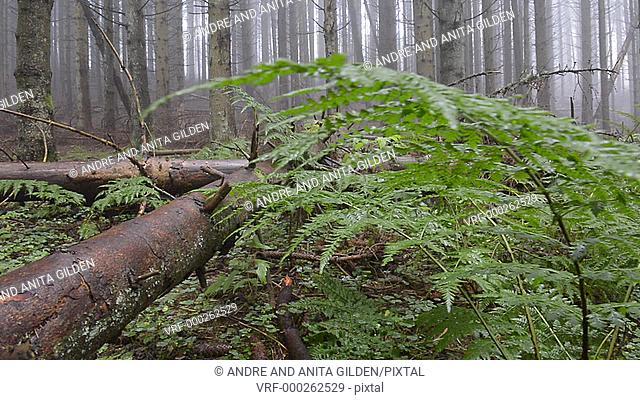 Dolly shot over ferns on forest floor